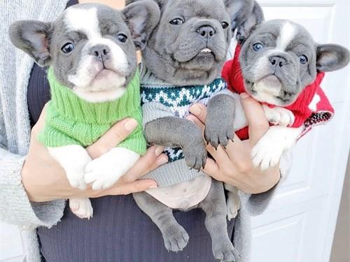 Dice French bulldogs