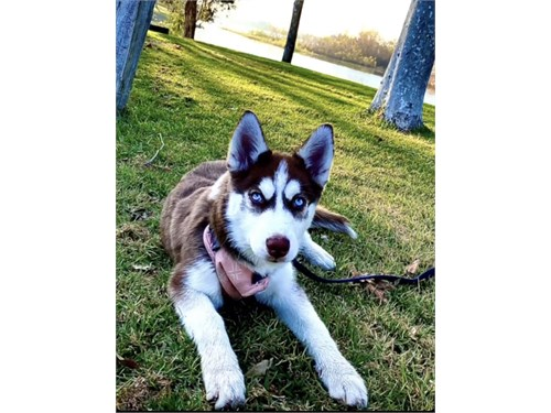8 month old husky