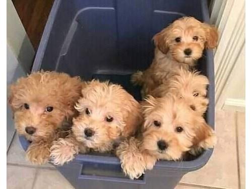 Amazing cavapoo pups