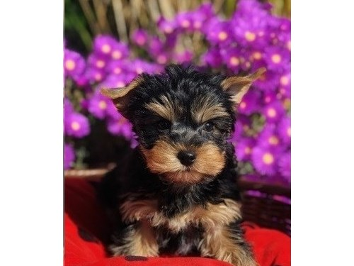 Female Yorkie Puppies