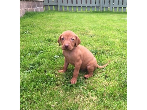 Vizsla Puppies for Sale