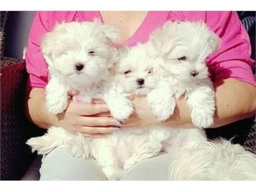 Lovely Maltese Pups ready