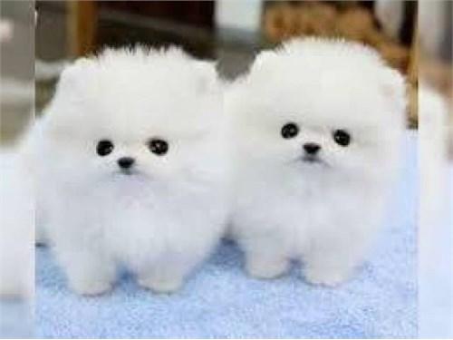 Beautiful Pomeranian pupp