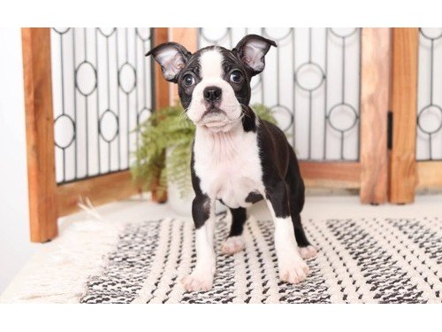 Boy/Girl Boston Terriers