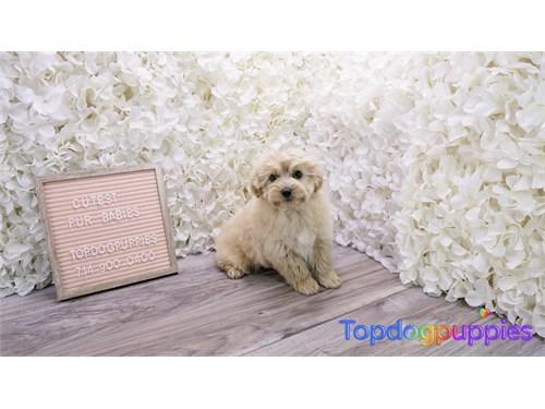 Malshipoo Puppy