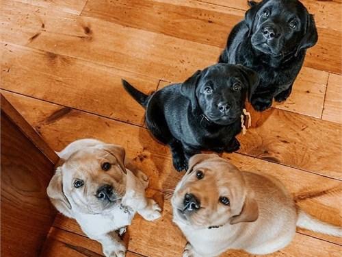 Labrador retriever sales