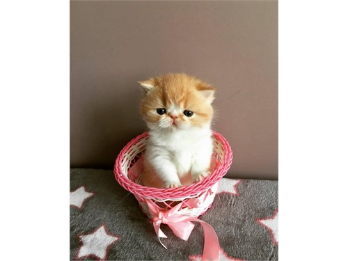 Active Exotic Shorthair