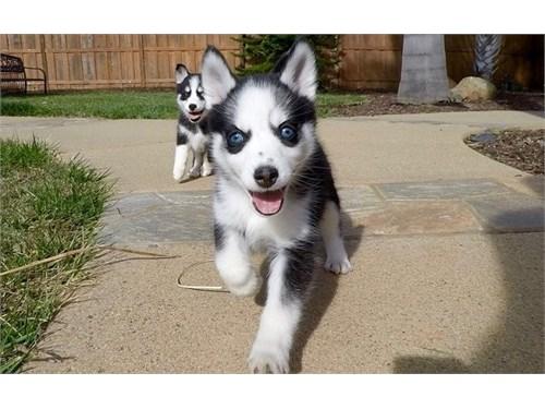 Sure-KC Pomsky Puppies
