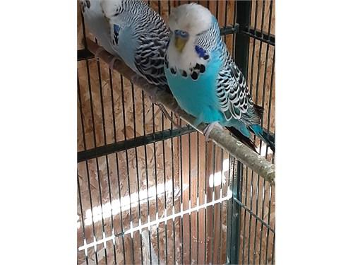 English Parakeets Large