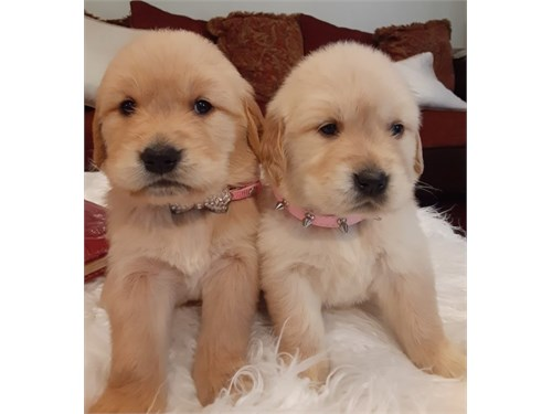 Beautiful goldens