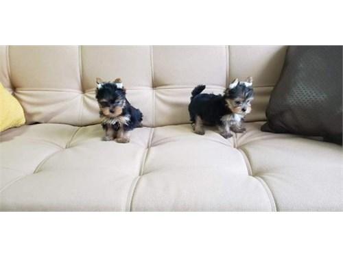 Akc Yorkie puppies ready