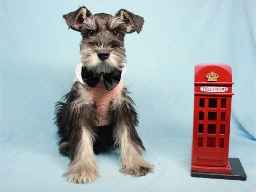 Beautiful Mini Schnauzer