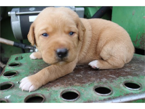 Hybrid Labrador Puppies!