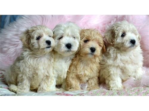 stunning Maltipoo puppies