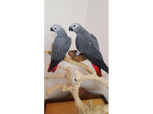 Congo African Grey Parrot