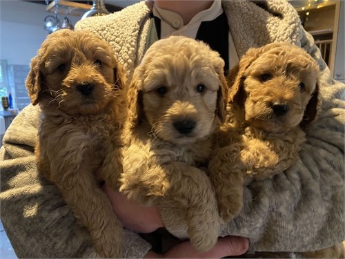 Goldendoodles pups