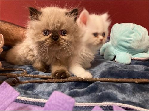 Persian kitten pure breed