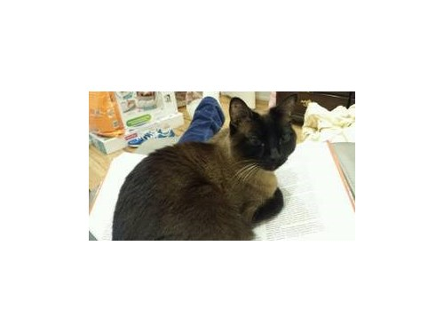 Missing Male Siamese Cat