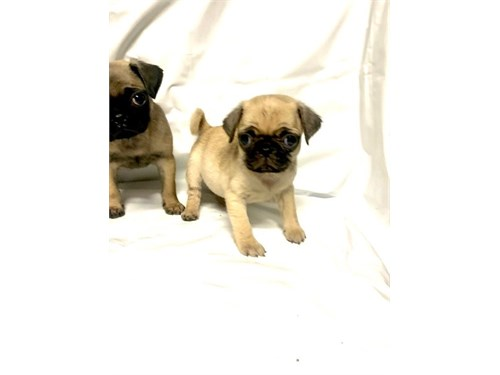Precious Pug Puppies