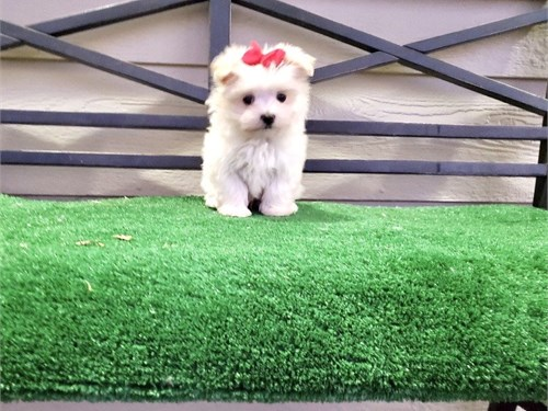 Gorgeous Maltese Pups