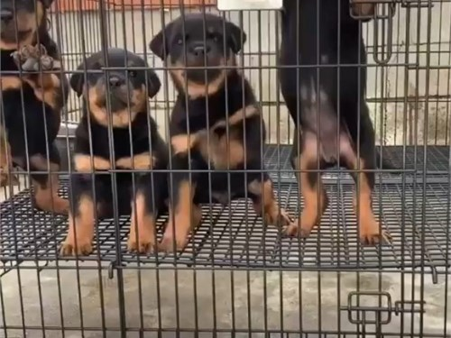 Rottweiler puppies for sa