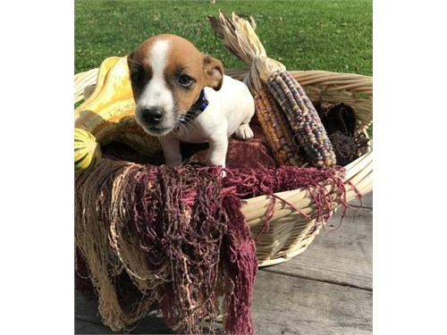 AKC jack russel pups
