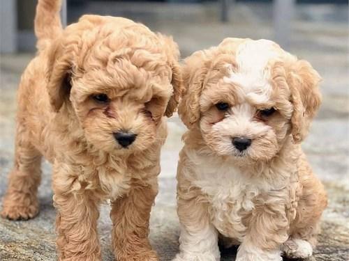 maltpo puppies available