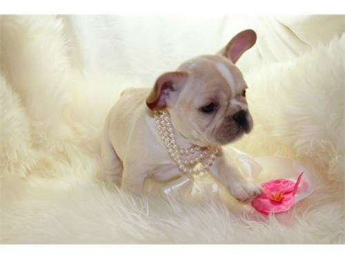 Lovely Frenchie Baby