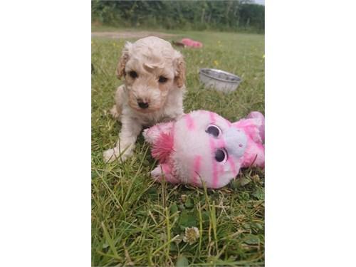 Toy Poodle Pups