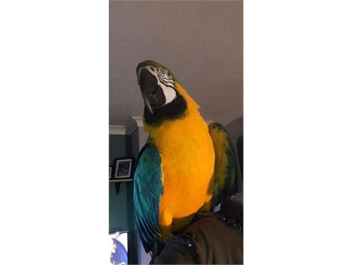 ##Blue And Gold Macaw!!#
