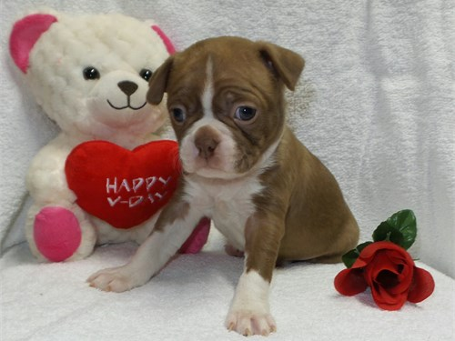 AKC boston terrier puppie