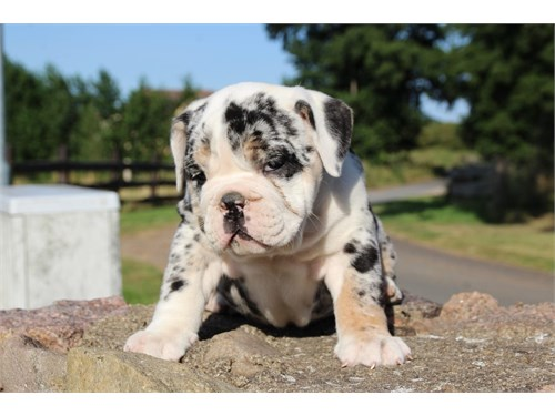 jEng.lish bull.dog Pups