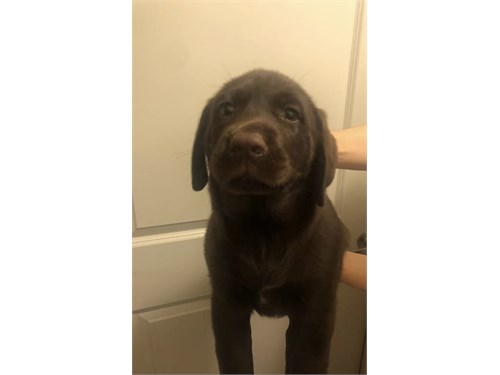 AKC Chocolate Labrador
