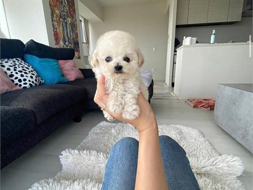 Adorable teacup toy poodl