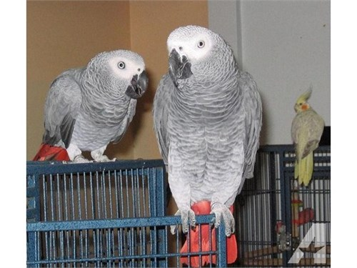 African greys M & F