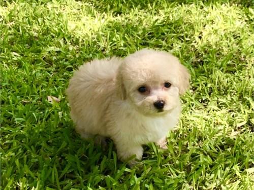 Poodle/Female-tiny toy