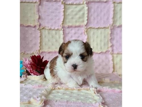 Malshi Puppies