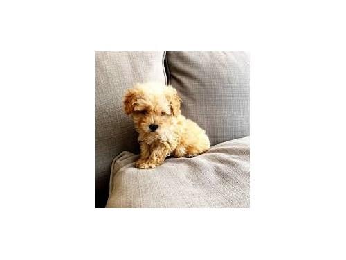 maltipo puppies for sale
