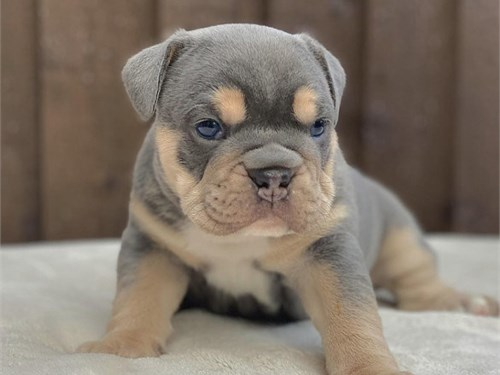 AKC English Bulldog puppi
