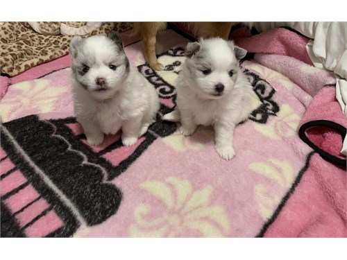 Blue Eye Pomeranians