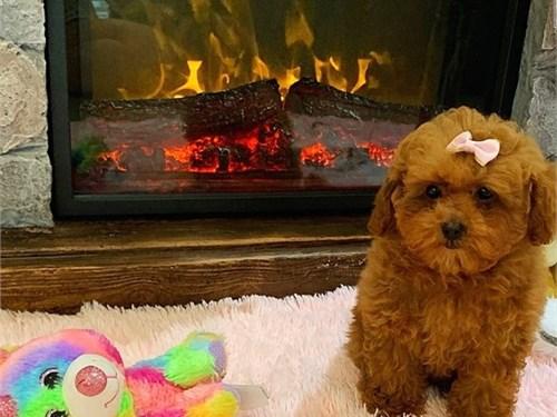 adorable maltipoo pup