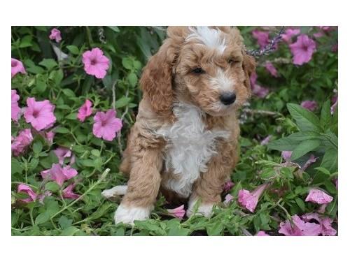 G@lden d$$dle puppies