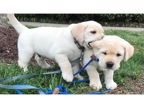 Purebred Labrador Retriev