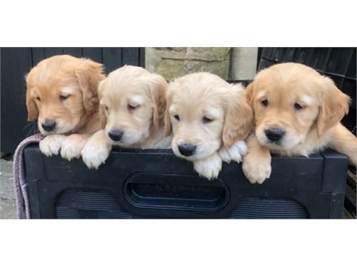 Sweet Golden Retrievers