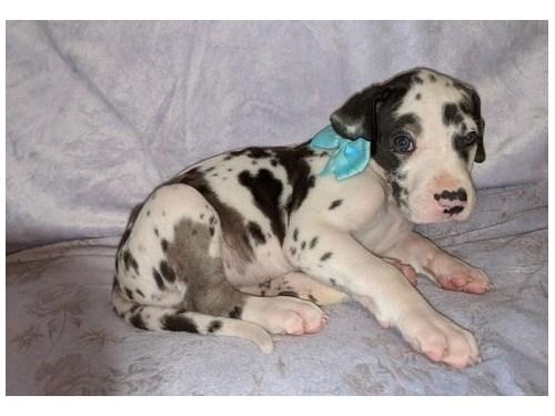 Sweety Great Dane pups