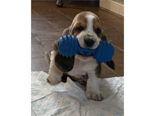 Lively Basset Hound Pups