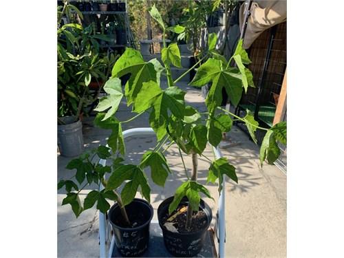 ChaYa Tree Spinach