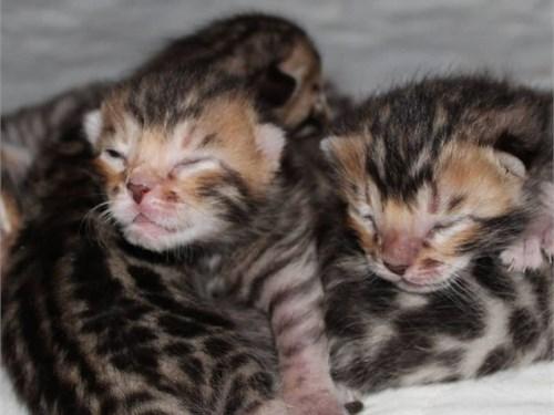Fixed Bengal kittens