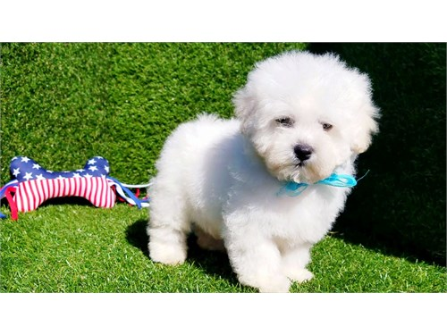 MALE MALTIPOO PUPPY