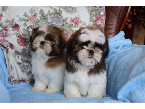 shi tzu puppies